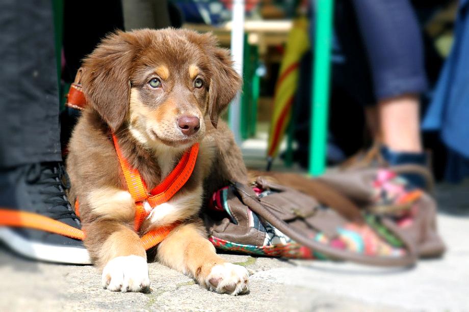 Skal du vælge hundesele eller hundehalsbånd, når du lufter din hund?